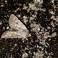 Noctuelle arrosée - Hoplodrina respersa