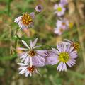 IMG_5593 fleurs camargaises !