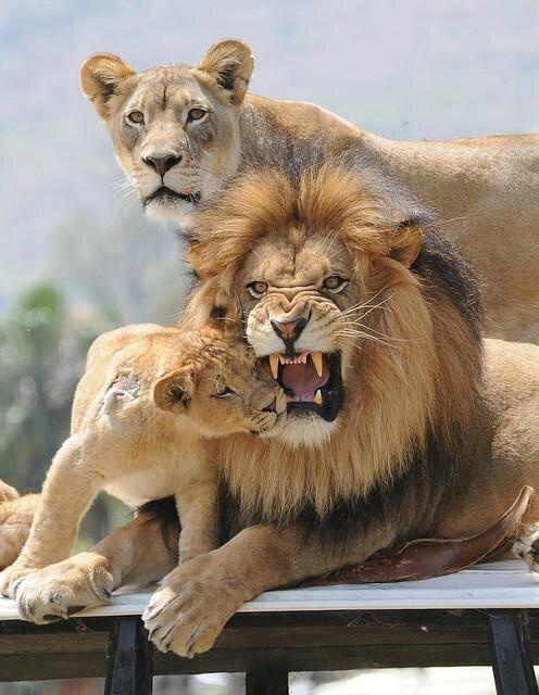 lion famille 145