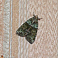 La chenille de ce papillon se nourrit de lichens...