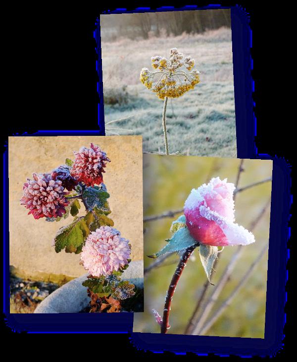 fleurs gelees