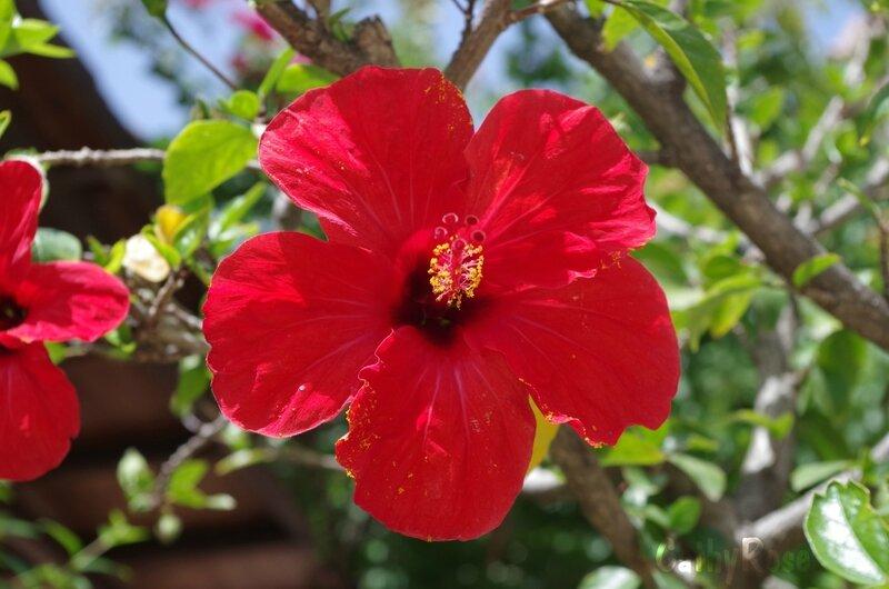 && hibiscus