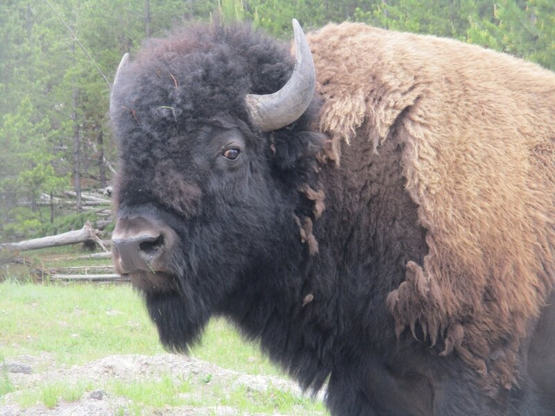 IMG_0929 bisons (6)