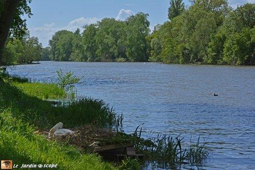 Cygnes nichant sur la berge du Loiret
