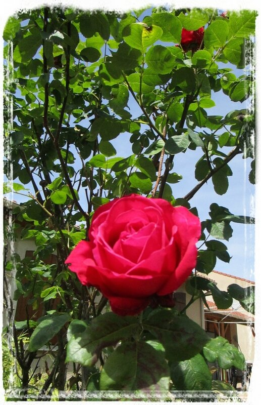 Rose rouge2