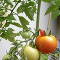 Pied de tomates sur notre terrasse