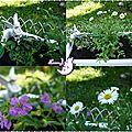 jardiniere Cuphea hyssopifolia et erigeron glaucus 2