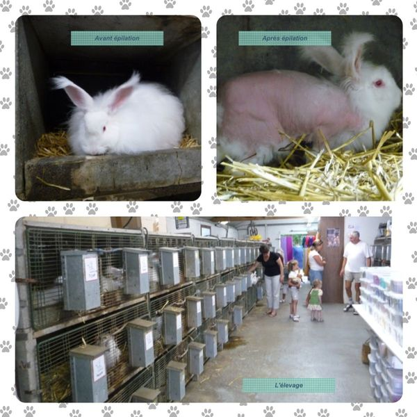 élevage de lapins angora