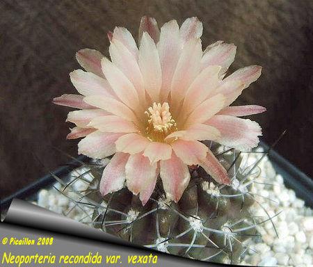 Neoporteria_recondida_var
