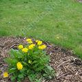Pissenlit: or du jardin !