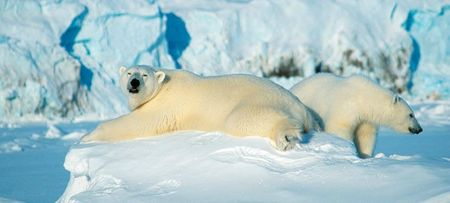 Polar_bears_Svalbard_Norway_740