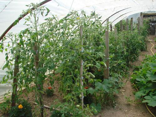 2008 06 29 Mes tomates sous serre