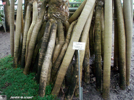 CIMG1441_Pandanus