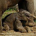 Naissance d'une éléphante dans un zoo de république tchèque