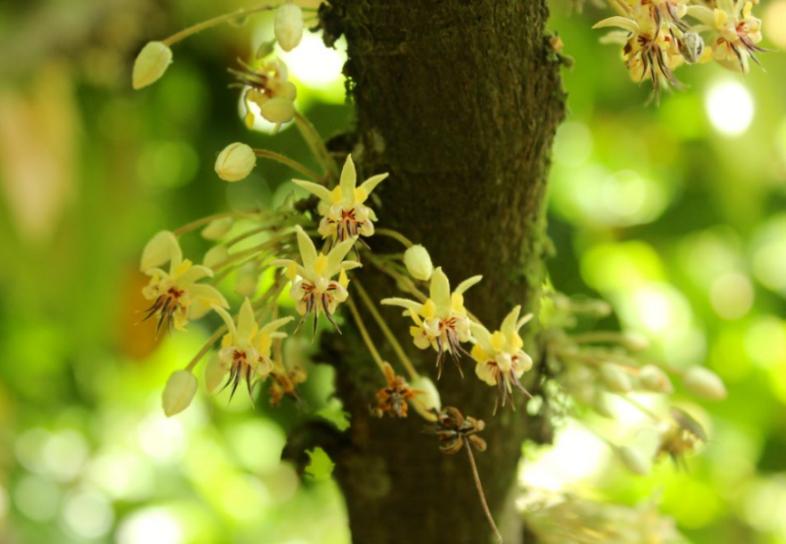 fleur cacao