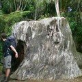 tronc de Kauri Tree