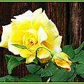 Rose jaune 120515