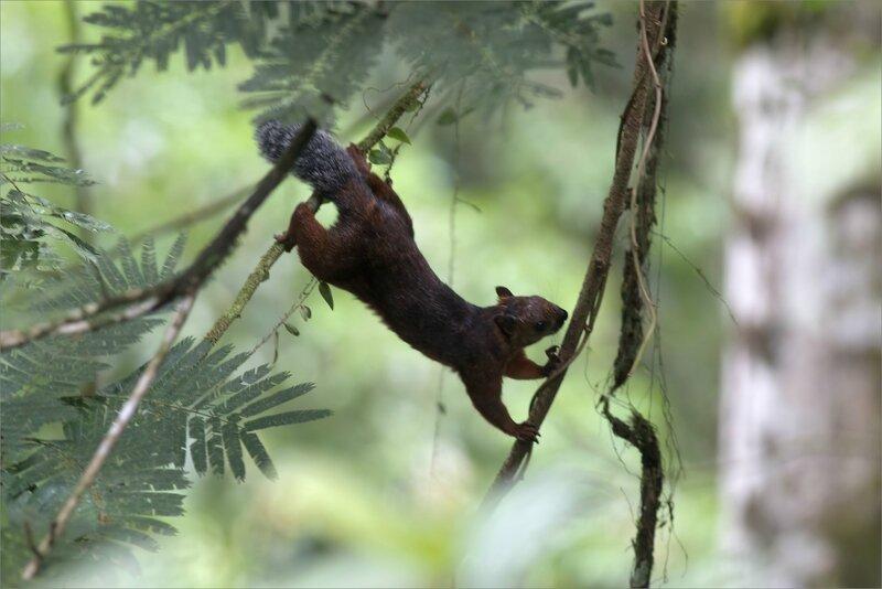 CR 2 rio blanco 2015 54 ecureuil acrobate
