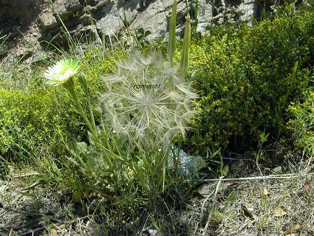 Euphorbia_spinosa