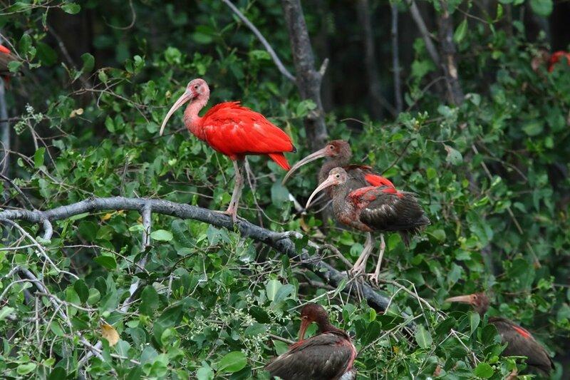 Eudocimus ruber - Ibis rouges