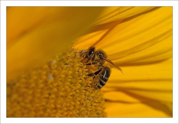 plaine tournesol abeille 210712