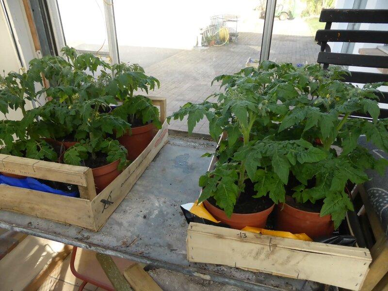14-tomates naines (2)