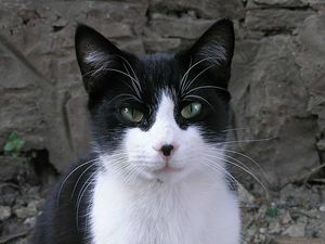 800px-Black_and_white_cat-crop
