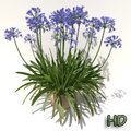 Agapanthus x praecox (lily of the nile)