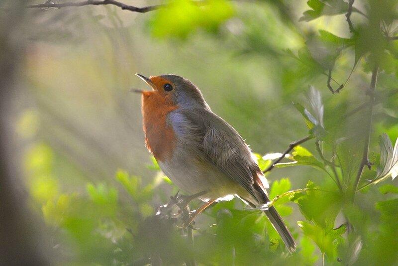 robin-singingcharlesskinnerapril