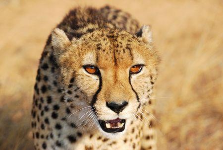 Gu_pard__parc_Kruger__Afrique_du_Sud__4_