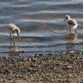 Lesbos oiseaux 52 - Poussins d'Avocette élégante
