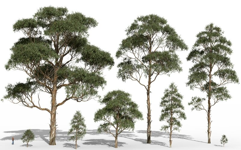 02 Eucalyptus globulus HD tasmania blue gum tropical jungle forest 3d tree Image 1