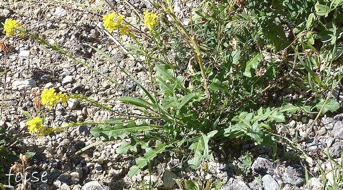 tiges rameuses feuilles caulinaires sessiles étroites ou sagittées