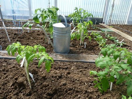8 -plantation tomates serre (7)