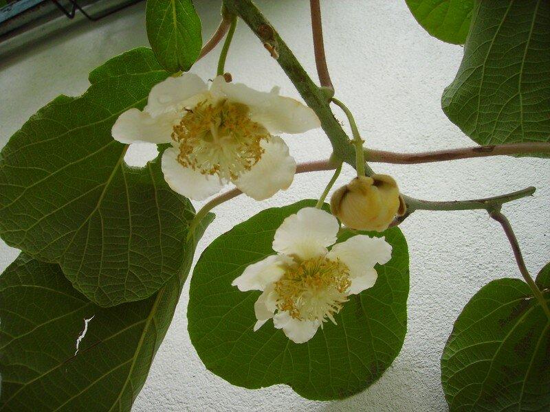 fleurs de kiwi photo de les fleurs et zaza les zazaneries d 39 isabelle. Black Bedroom Furniture Sets. Home Design Ideas