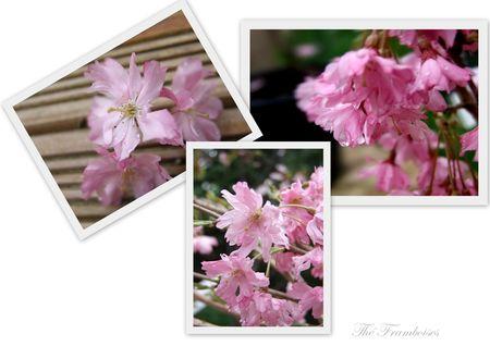 Cerisier___fleurs