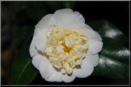 camelia 009b