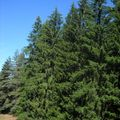 2009 08 29 Sapins et ciel bleu