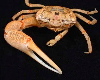 8_crab_uca-962ca