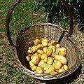 Test pomme de terre
