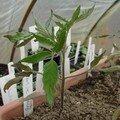 2008 04 14 Une tomates coeur de Boeuf sous la serre