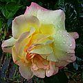 Rose 2205162
