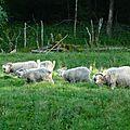 P1070719A Des moutons mohair