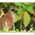 CAILLE FRANCOLIN