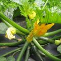 Légumes sous serres