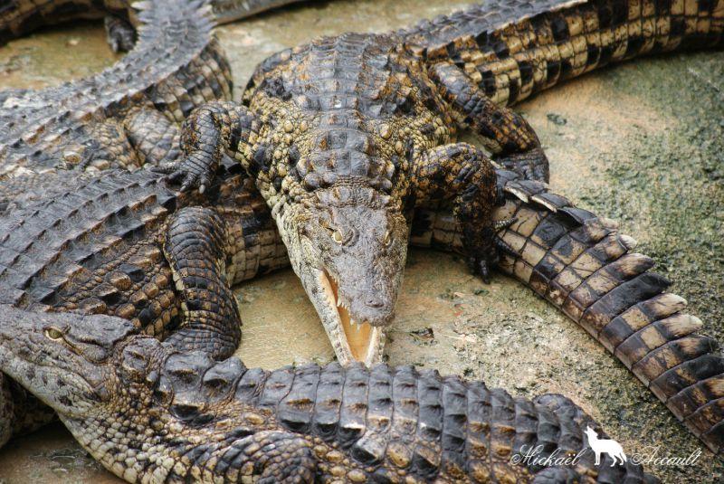 Le crocodile du Nil