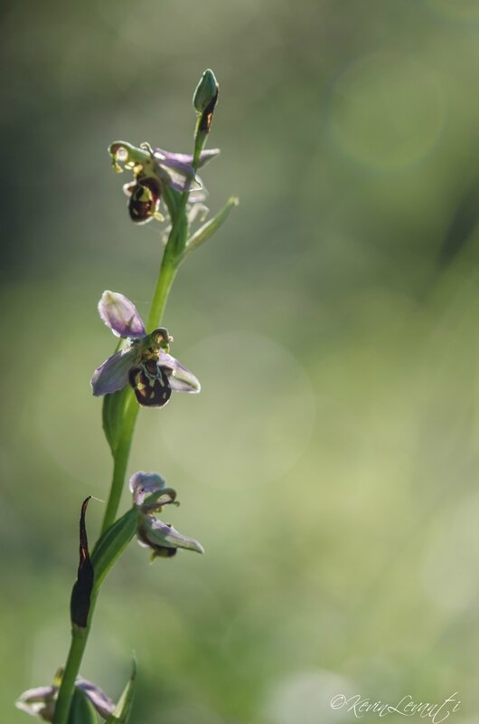 Ophrys abeille - Ophrys apifera (5)