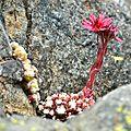 Sempervivum montanum, une éternelle dans les fissures de la roche