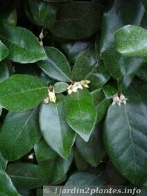 eleagnus-fleurs
