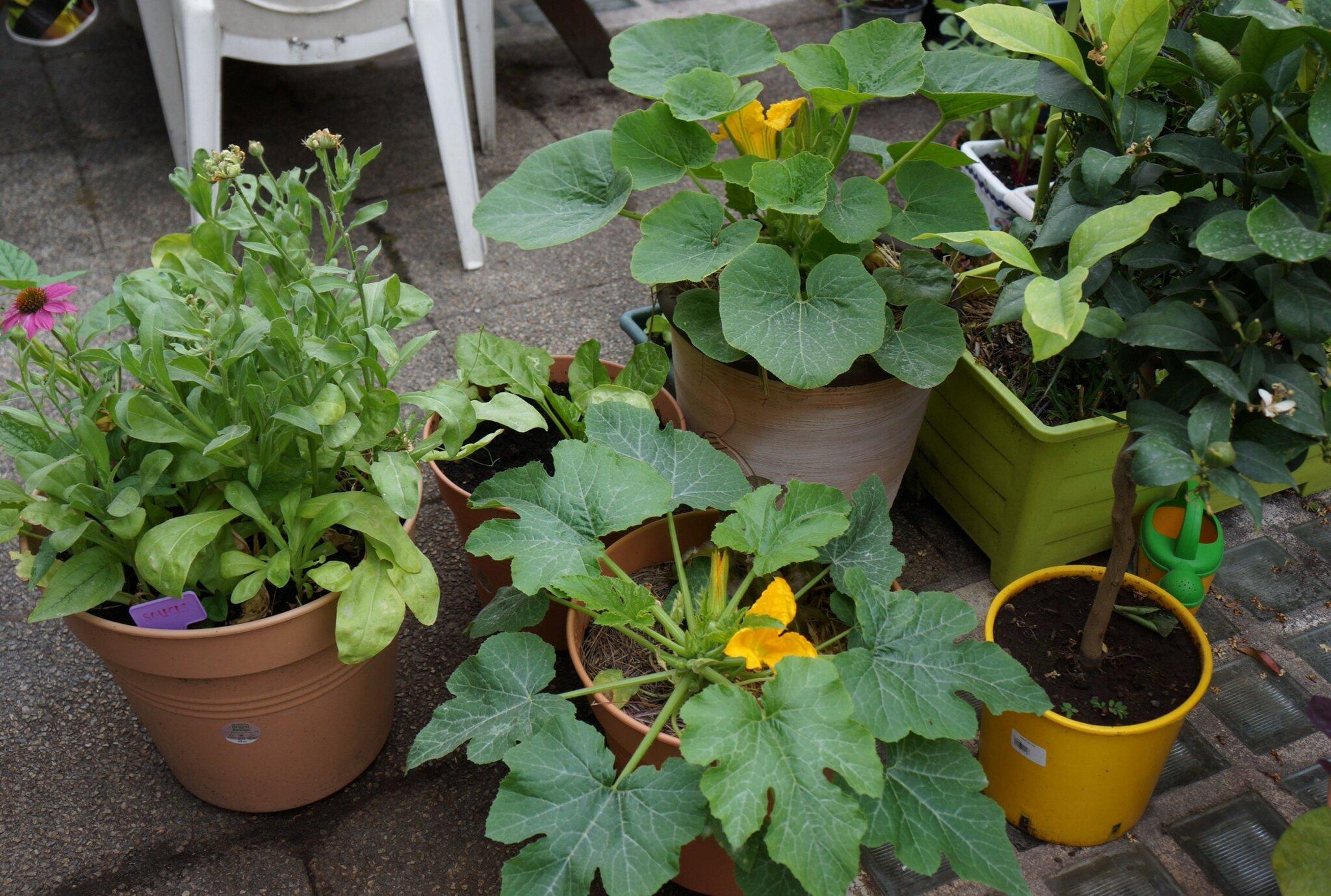 Caf terrasse du potager carr aux buttes potag res peut tre un jour - Salade a couper qui repousse ...